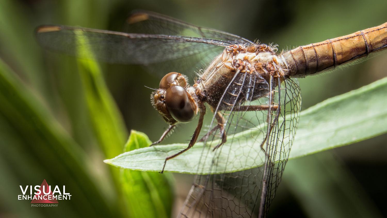 Libélula / Dragonfly by Rodrigo Valdez