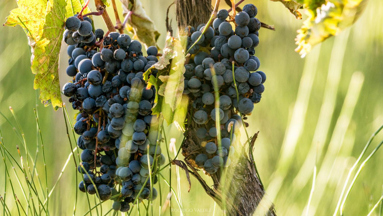 Grapes farm by Rodrigo Valdez