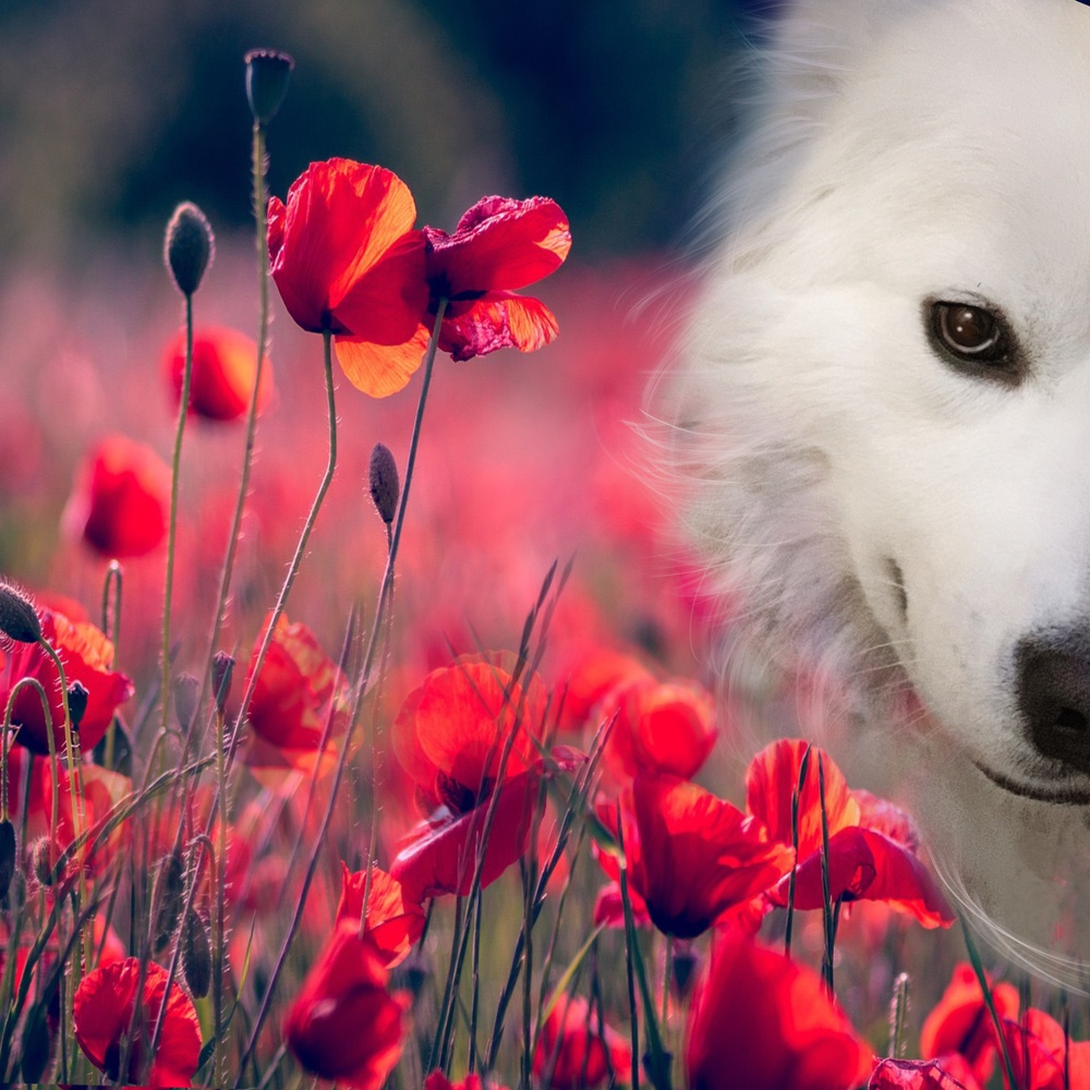 Smelling the poppies by TheAmerican Chinadoll