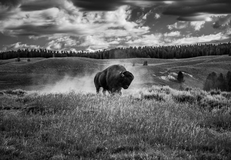 Dusty Bison by Doug Lyon