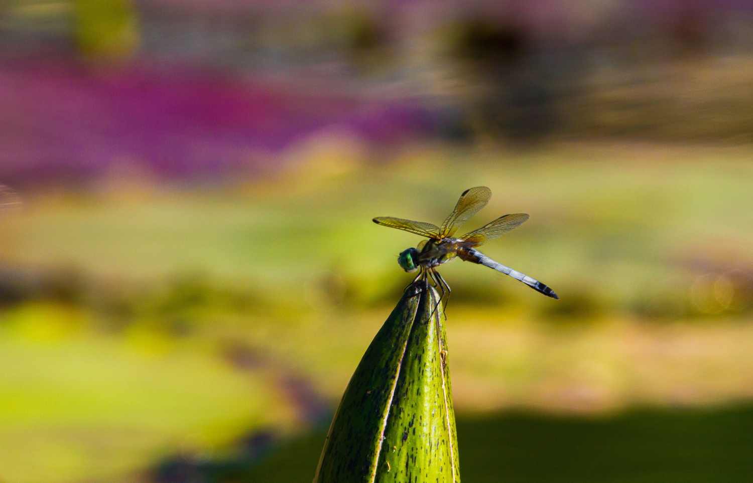 Macro of blue dragonfly on waterlily by Zackary Singer