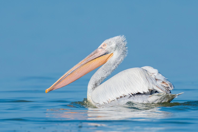 Damatian Pelican by Gabi Sandu