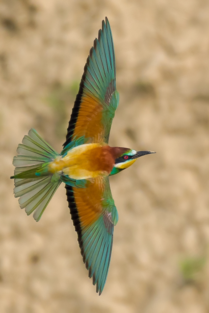 Bee-Eater in flight by Gabi Sandu
