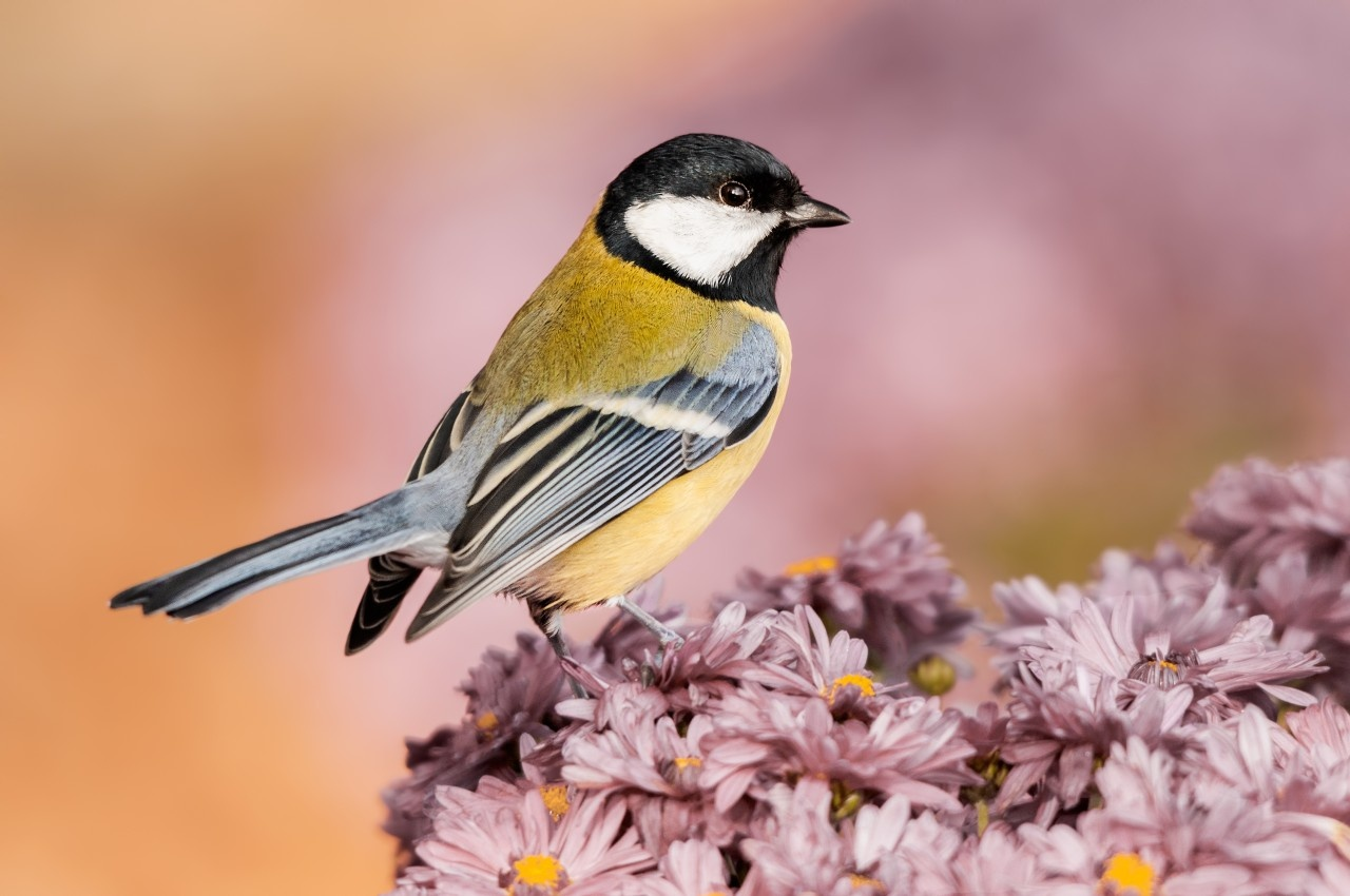 Great Tit by Gabi Sandu