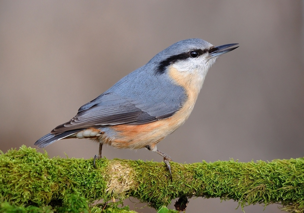 Nuthatches by Gabi Sandu