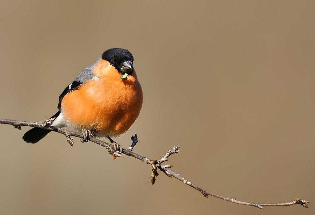 Eurasian Bullfinch by Gabi Sandu