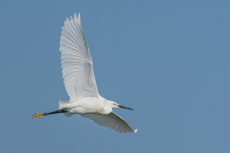 Little Egret by Gabi Sandu