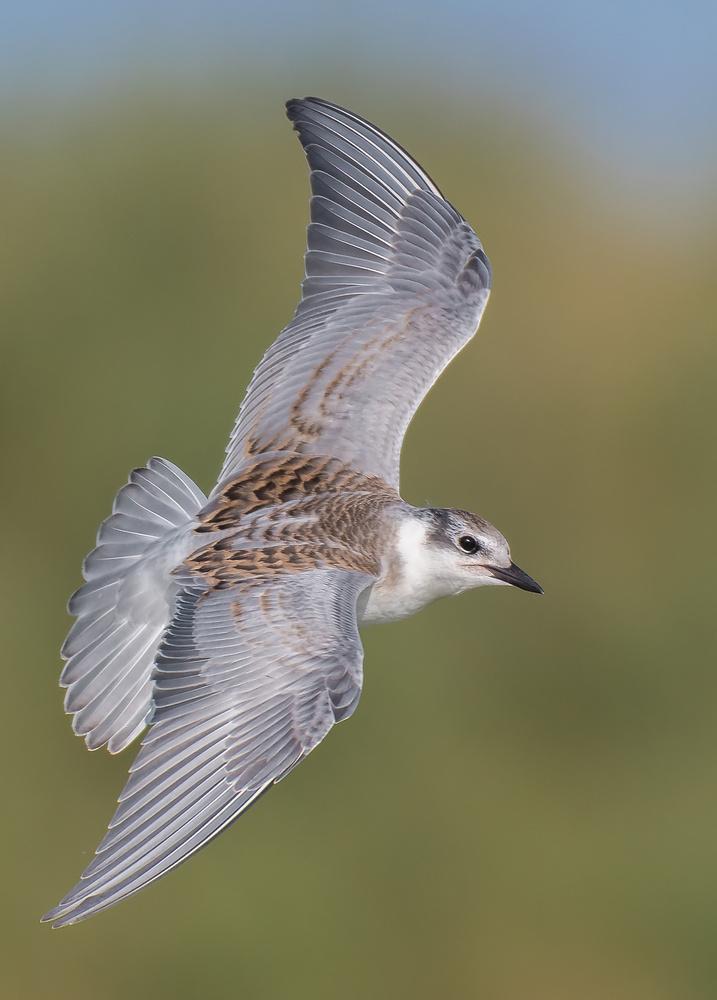 Whiskered Tern (juvenile) by Gabi Sandu