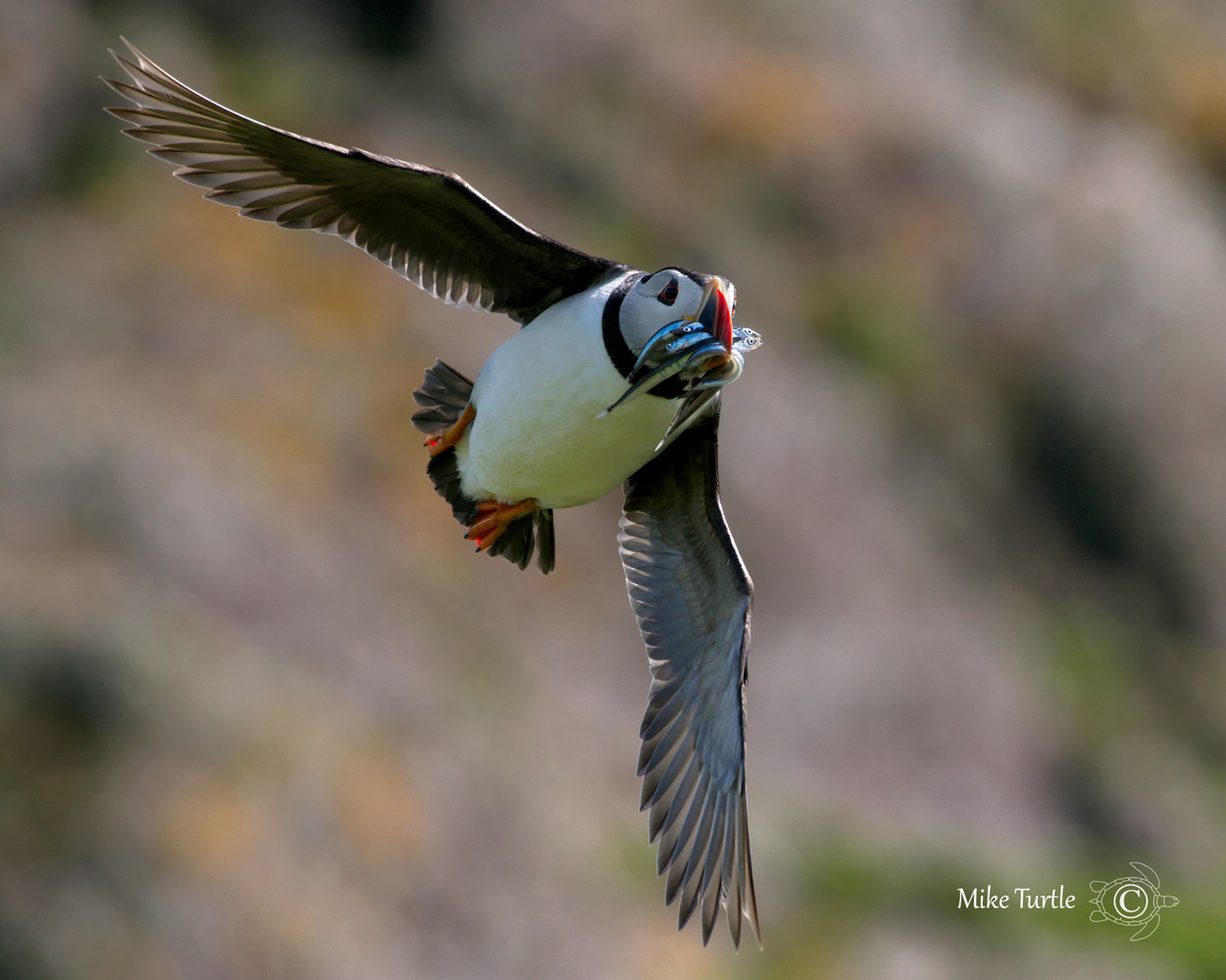 Puffin with the Skokholm cliffs behind by mike turtle