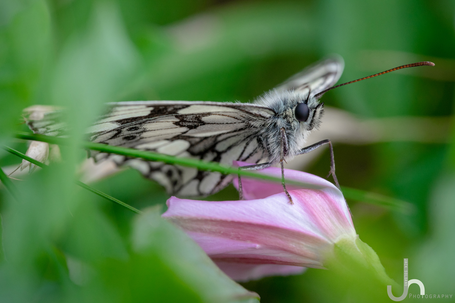 Marbled White Butterfly - Samyang 100mm Macro by Jack Soldano