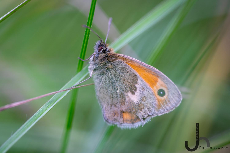 Meadow Brown Butterfly - Samyang 100mm Macro by Jack Soldano