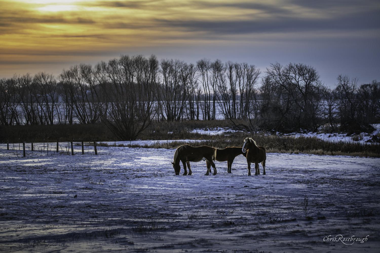 Winter Horses by Chris Rosebrough