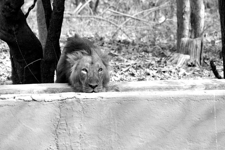 lion by Debashish das