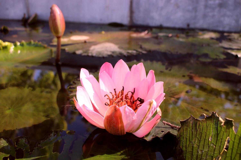 Pink Lotus by Debashish das