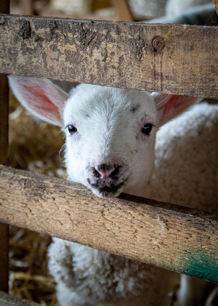 I see ewe? by Johnnie Walker