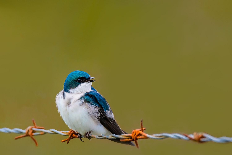 Tree Swallow by Dex Horton