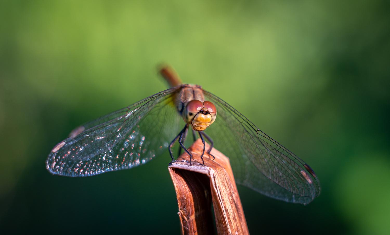Dragonfly by Rétháti Árpád
