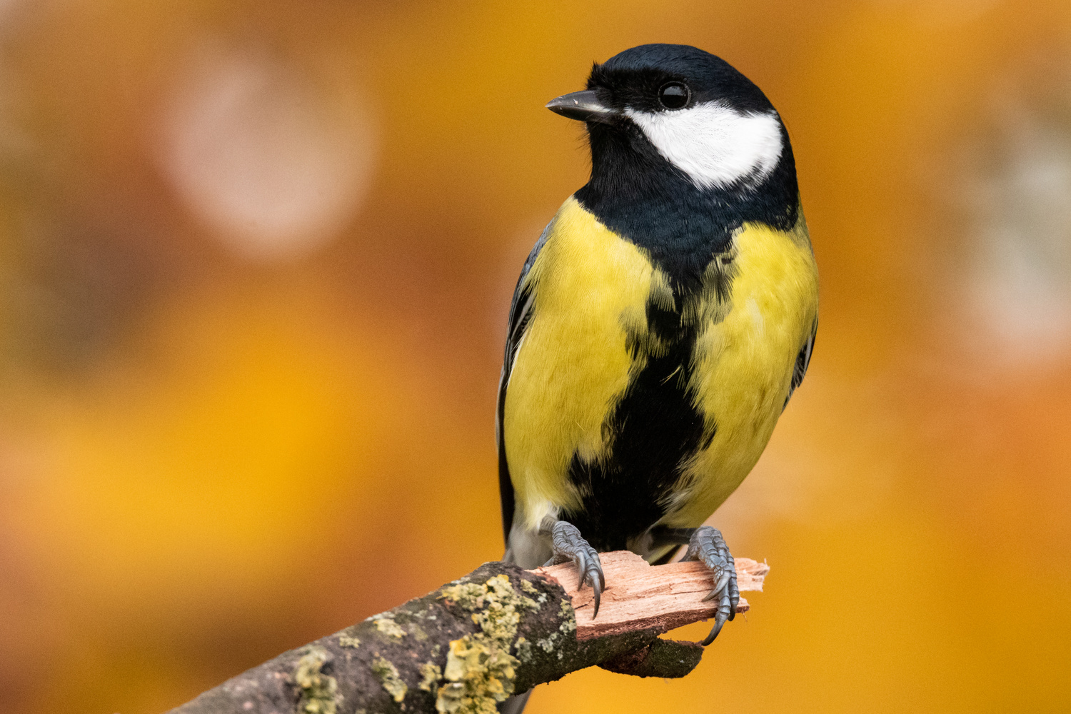 Great tit (Parus major) by Sebastian Ulici