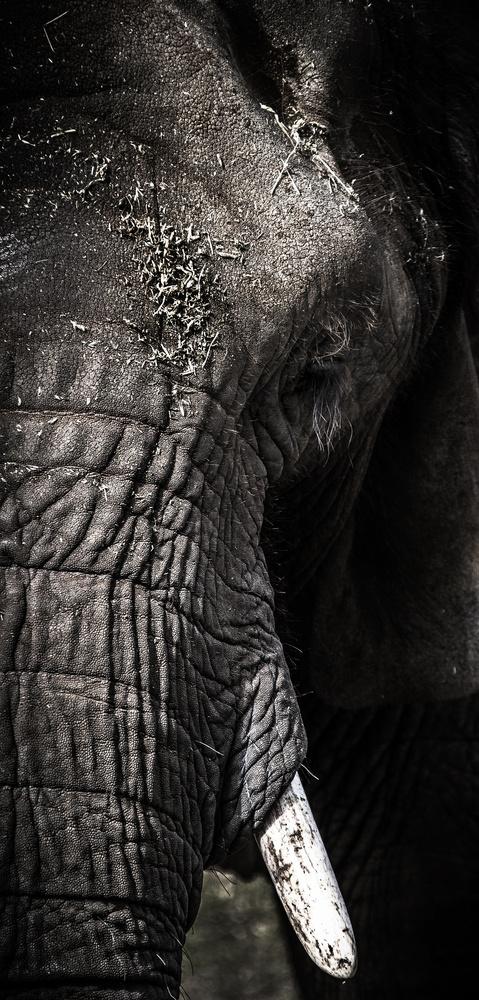 Elephant - Western Plains Zoo - Australia by Pat Gallagher