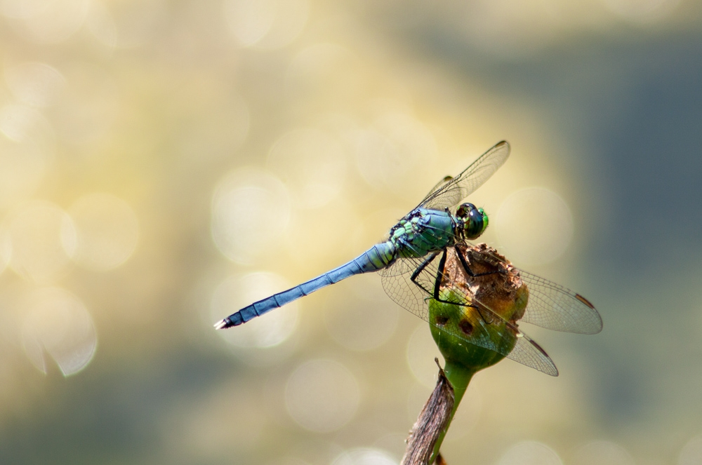 Dragonfly by pierre jamnicky