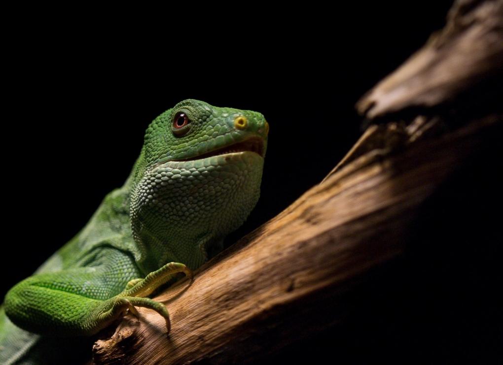 Fiji Island Banded Iguana by pierre jamnicky