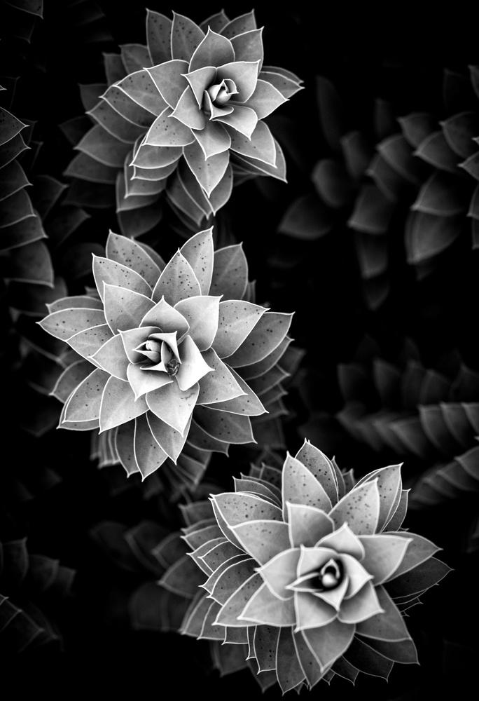 euphorbia myrsinites by Christopher Hendricksen