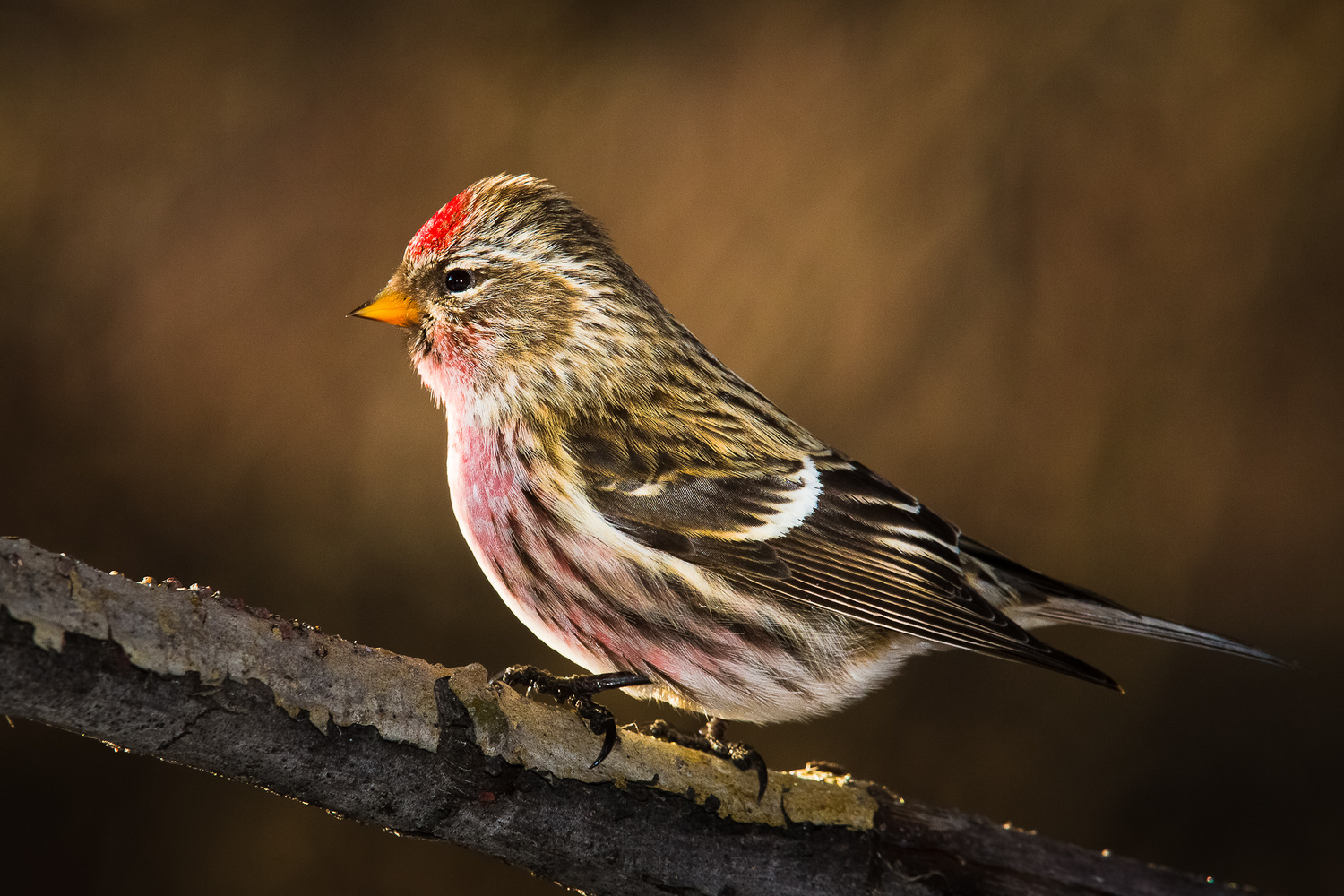 Common Redpoll by Charles Mcdonald