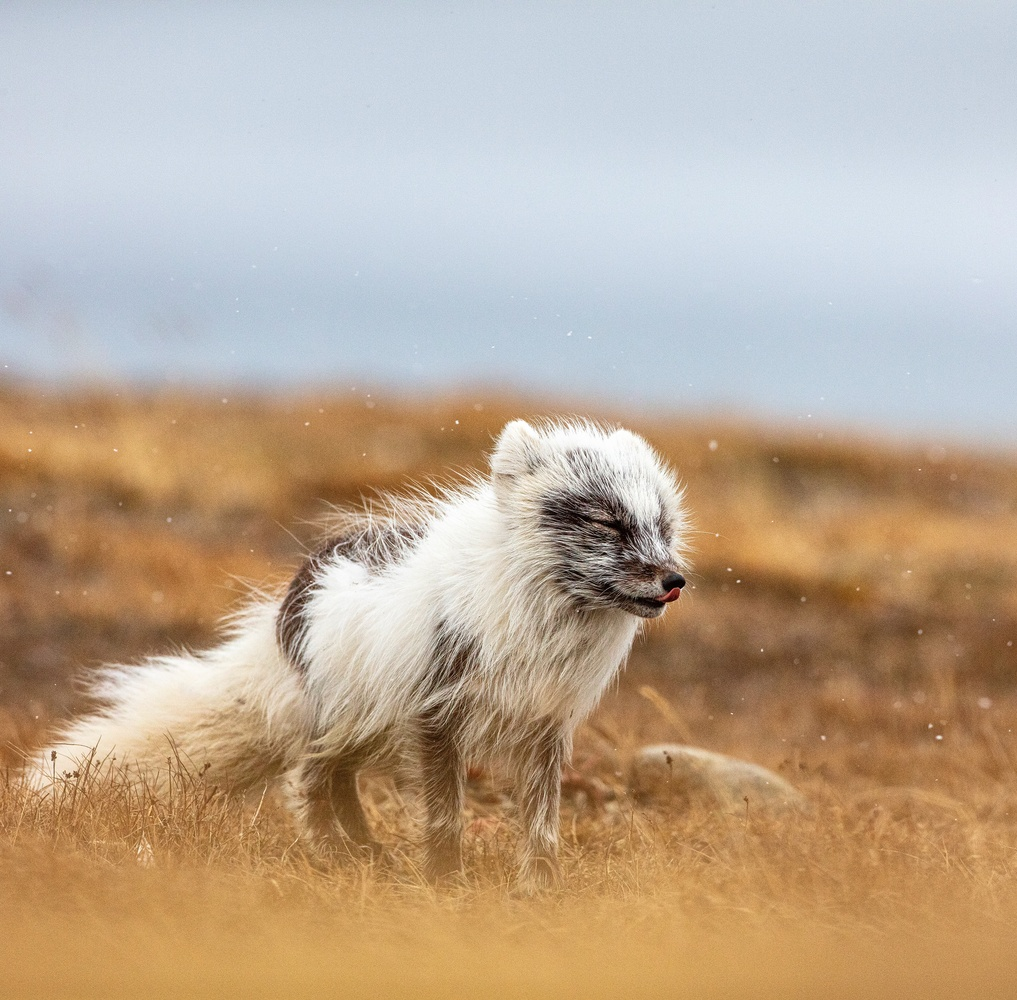 Arctic Fox by Oddgeir Sagerup