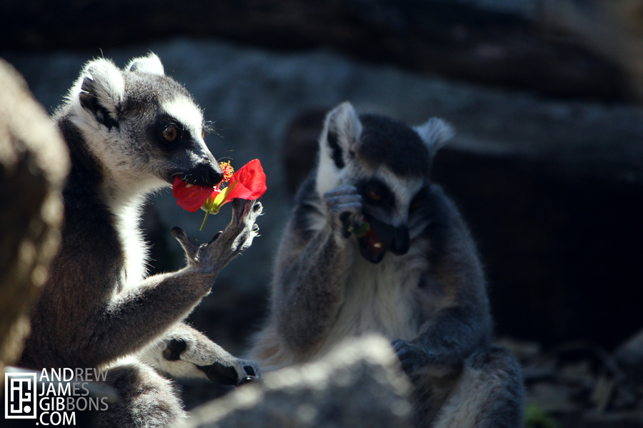 Lemurs at Melbourne Zoo by Andrew Gibbons