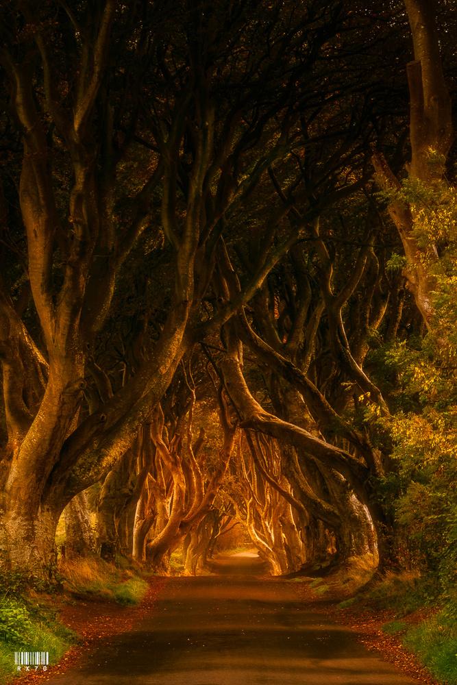 Dark Hedges by RYSZARD LOMNICKI