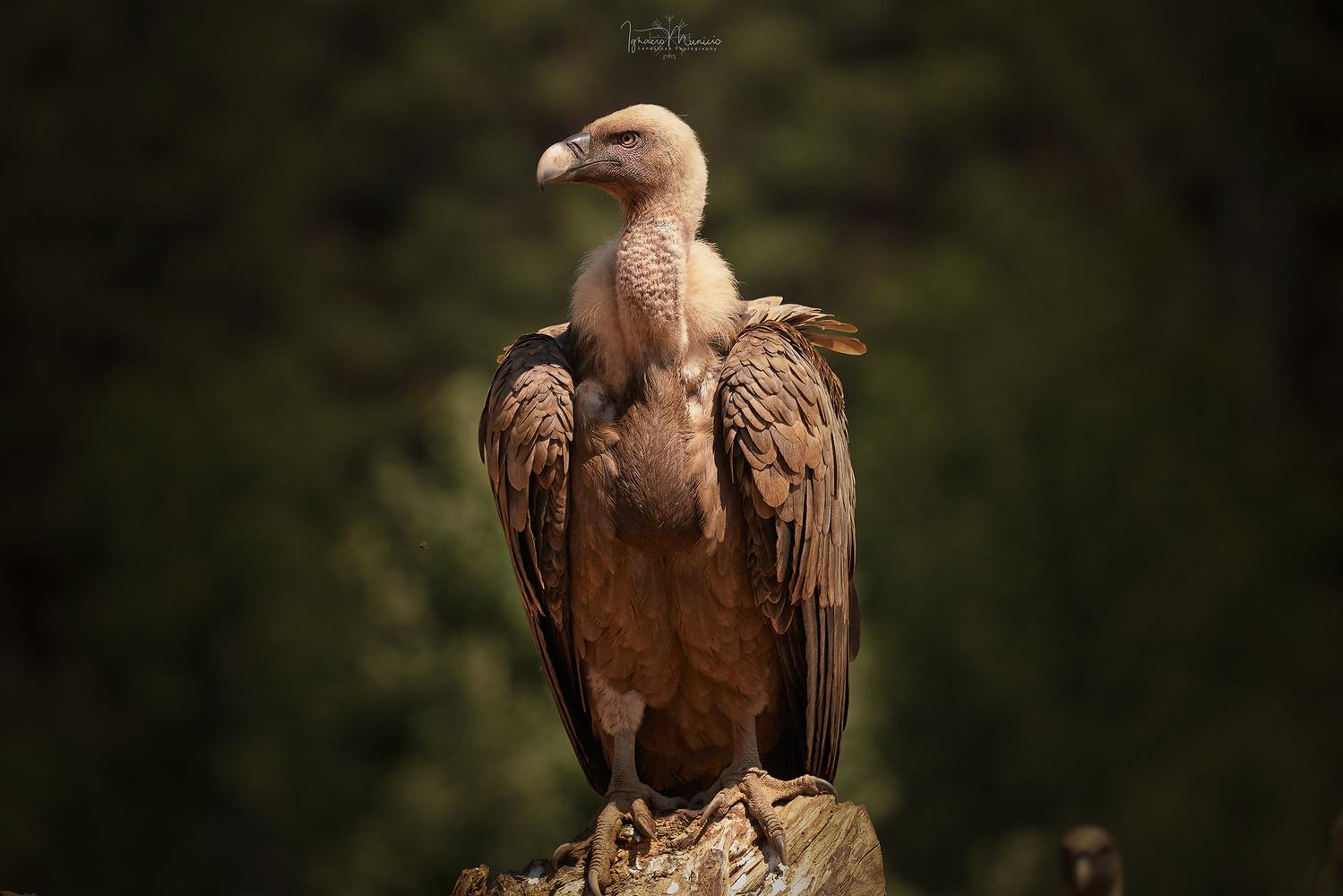 Vulture by Ignacio Municio