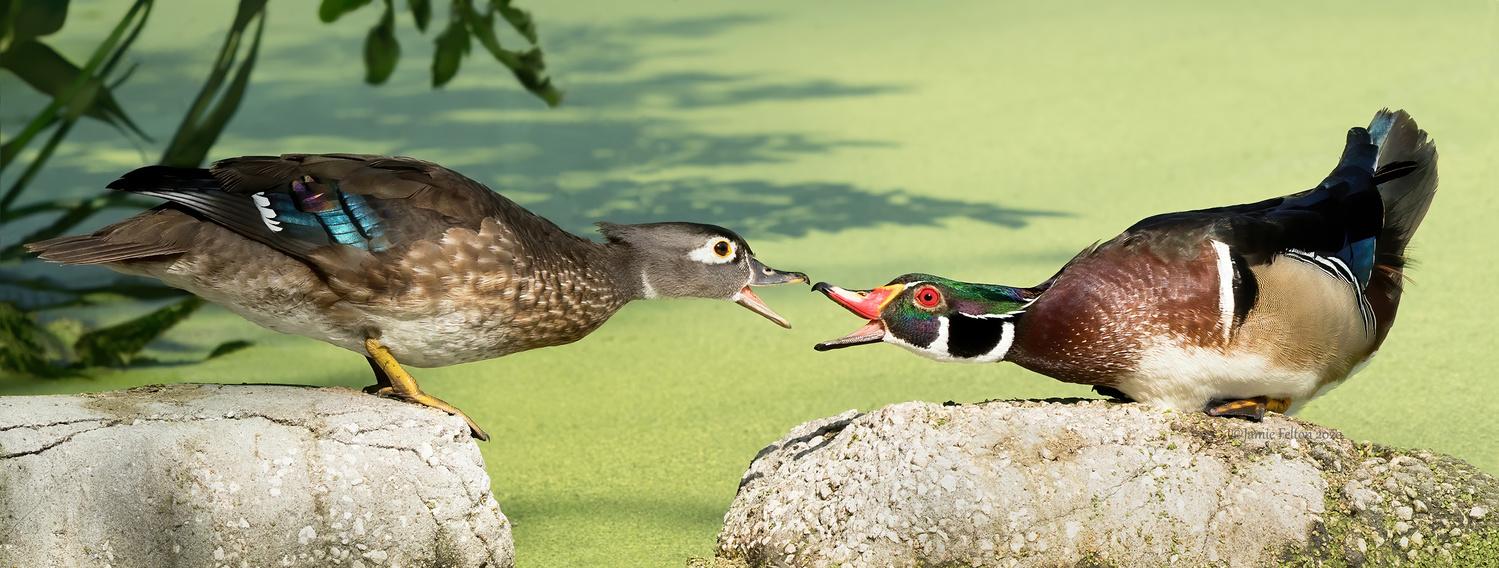 Double Luck Wood Duck by Jamie Felton