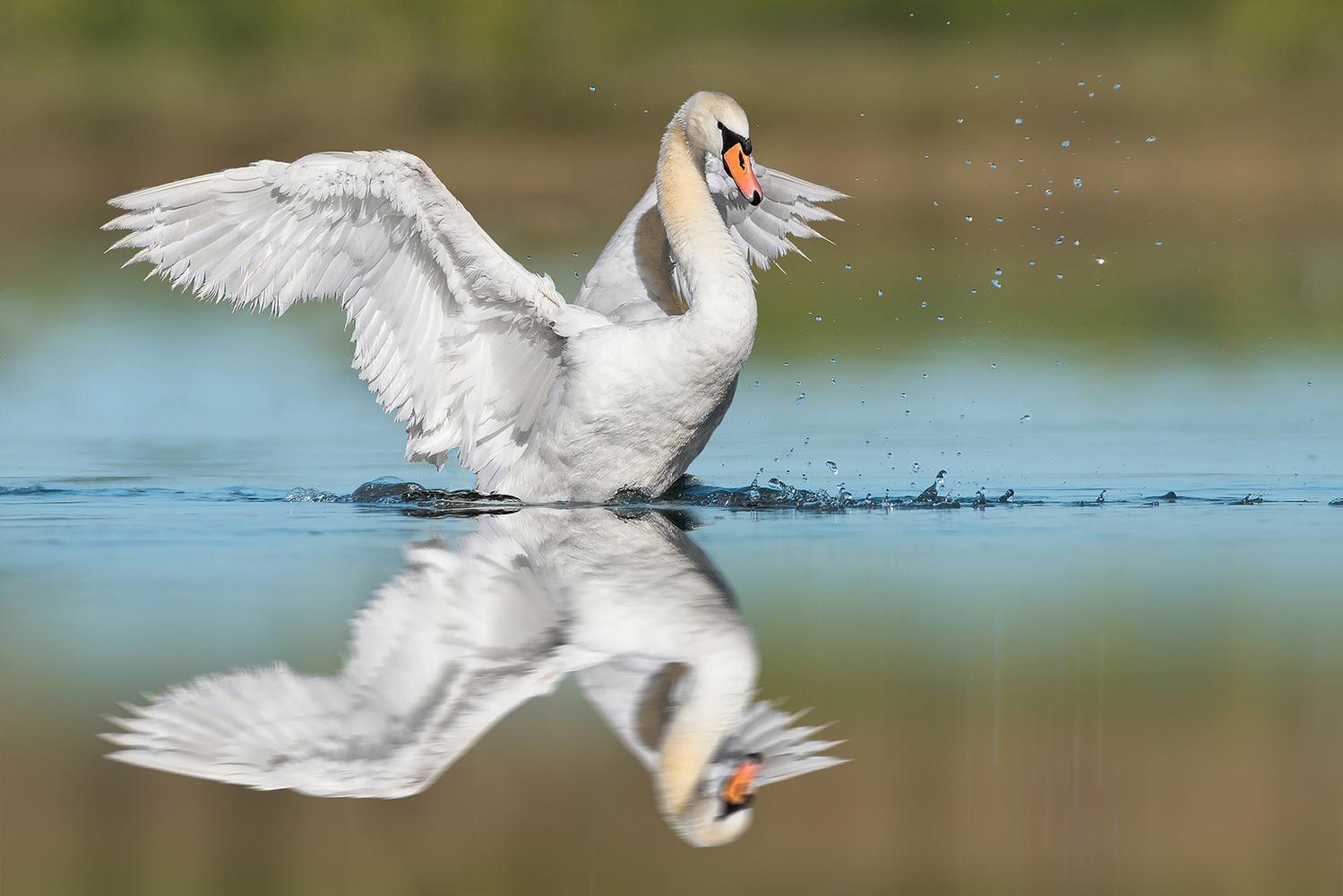 The Swan by Kevin Plovie