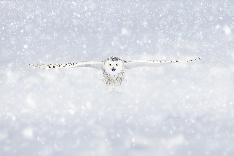 Snowowl by Kevin Plovie
