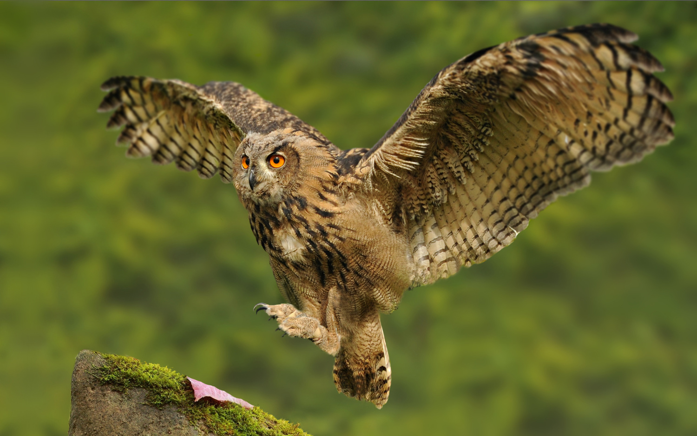 Landing Owl by Kevin Plovie
