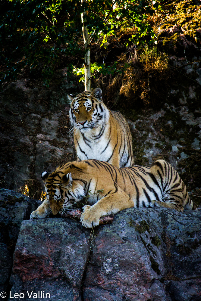 Tigers by Leo Vallin