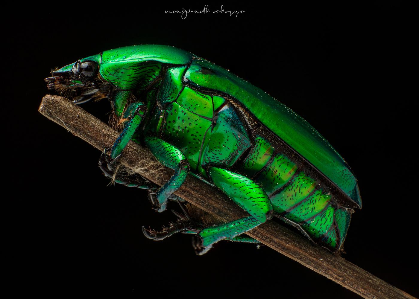 Fig-eater bug by Manjunath MR