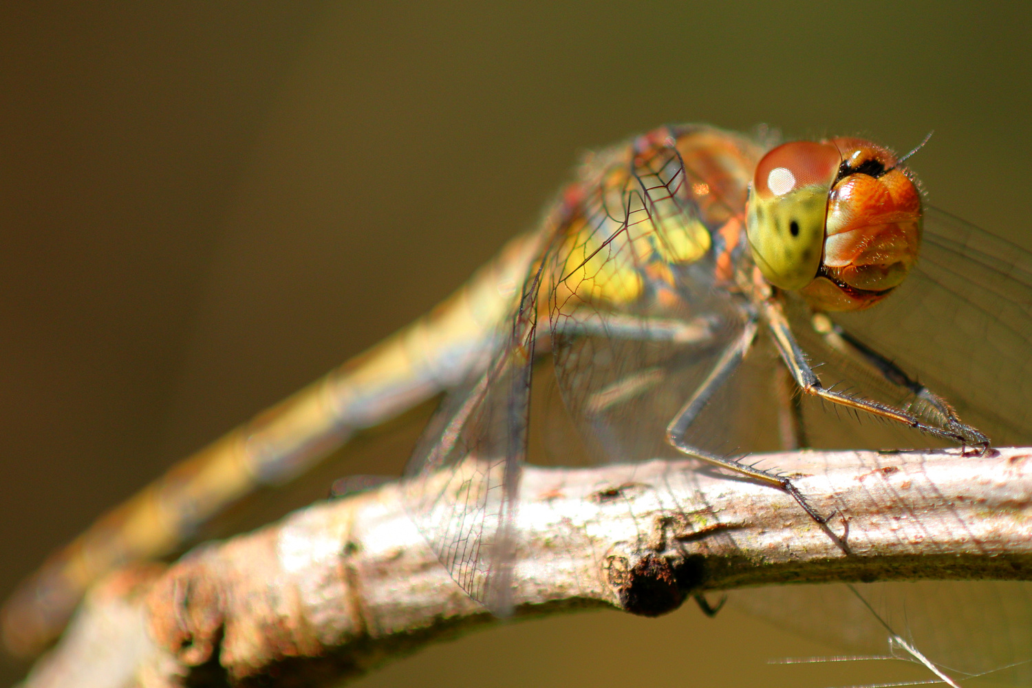 Dragonfly on a stick by Ian Luyten