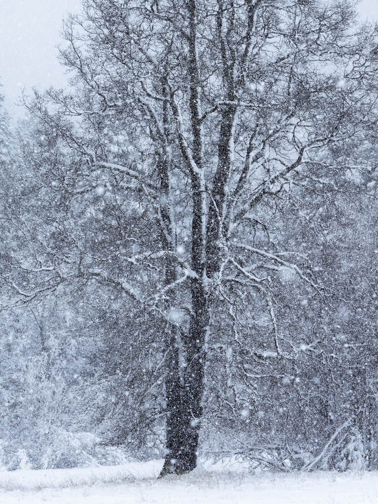 The Oak - Late Winter Snow Storm by Tim McBroome