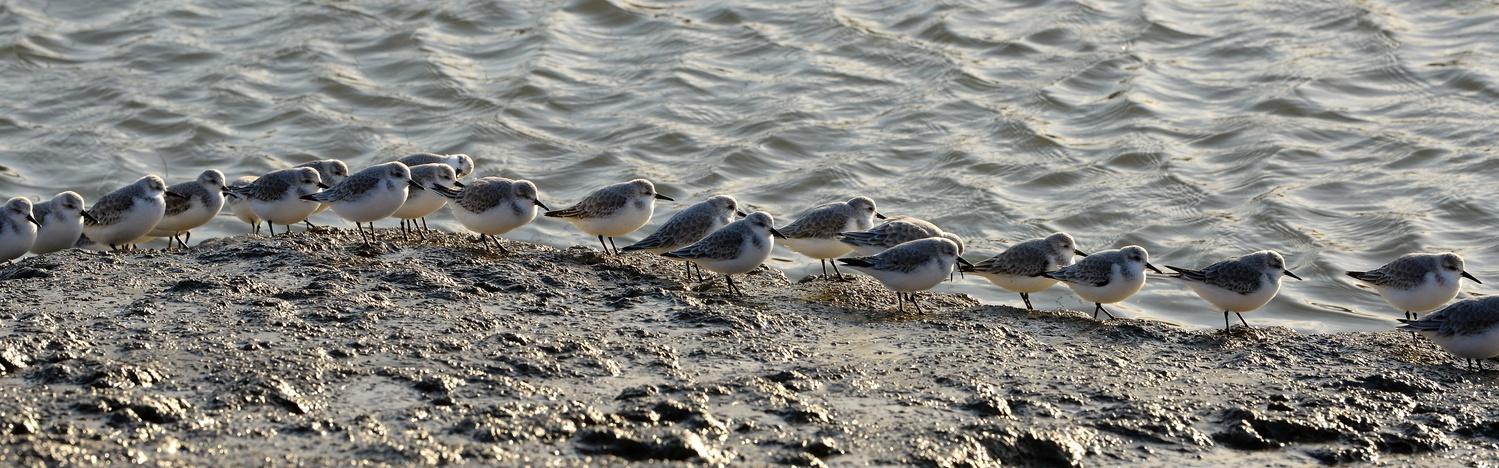 sanderlings by Jean Dawkins