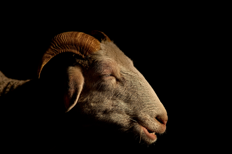 Low Key Sheep Portrait by Philipp Brüsch