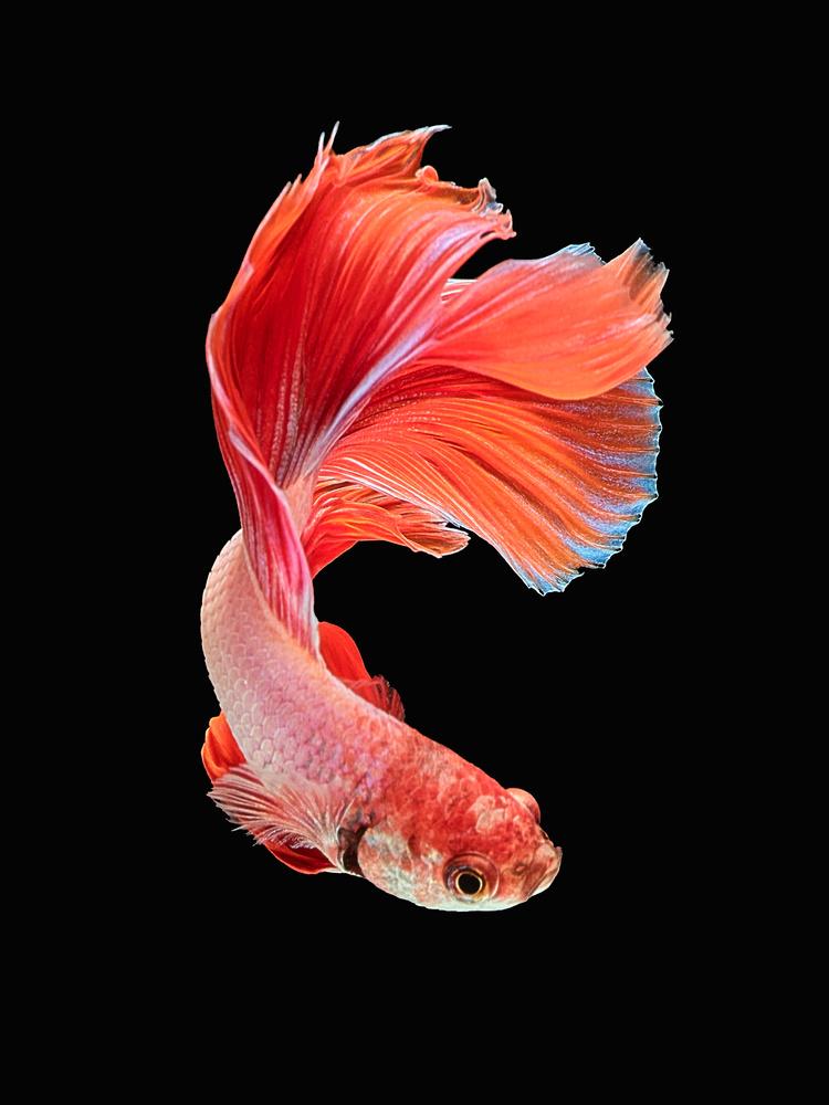 Beta Fish 3 by Don Jose Romulo Davies