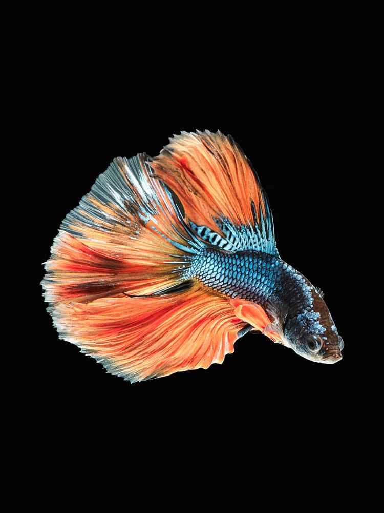 Beta Fish 6 by Don Jose Romulo Davies