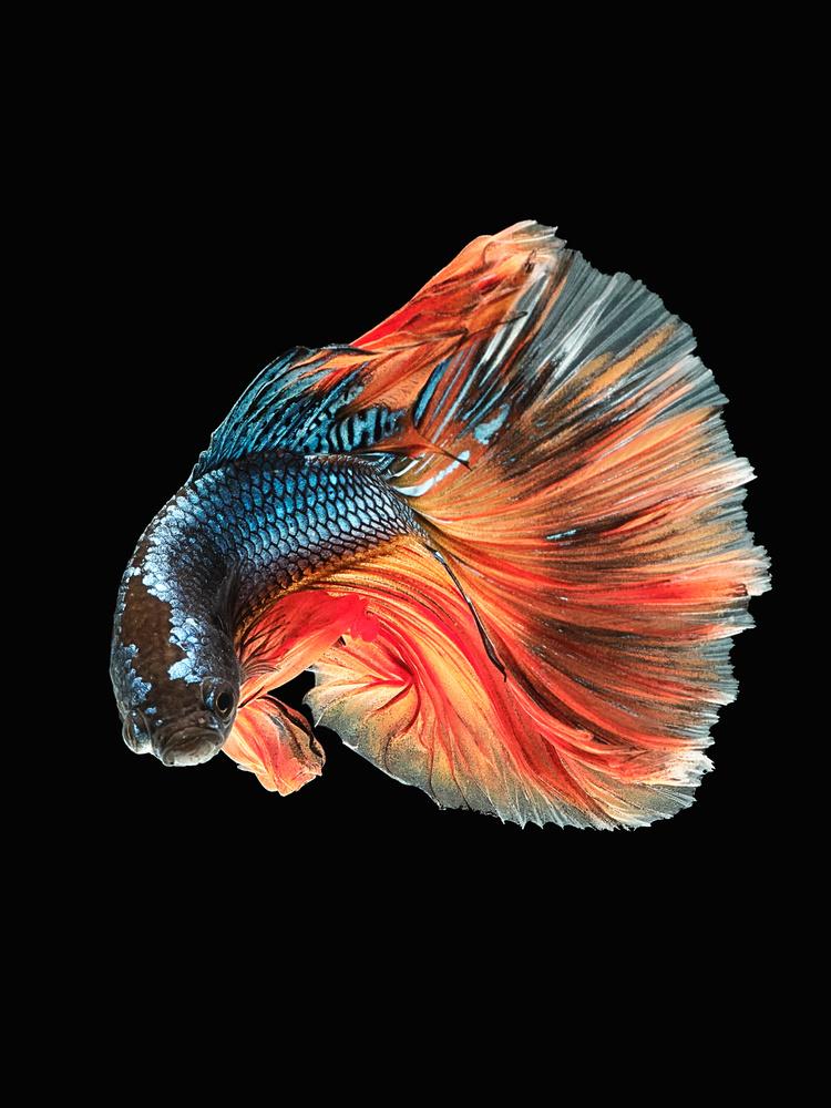 Beta Fish 5 by Don Jose Romulo Davies