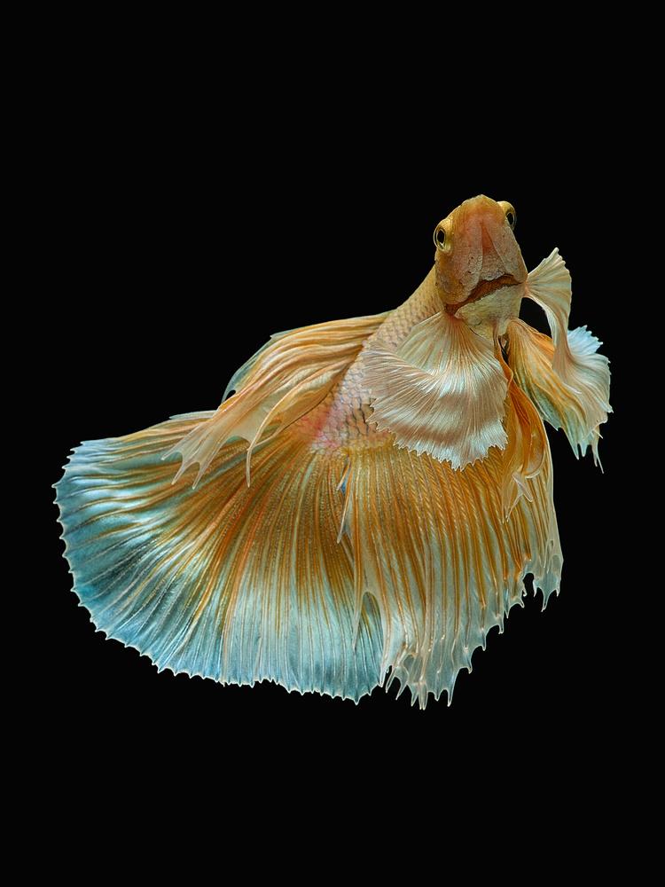 Beta Fish 8 by Don Jose Romulo Davies