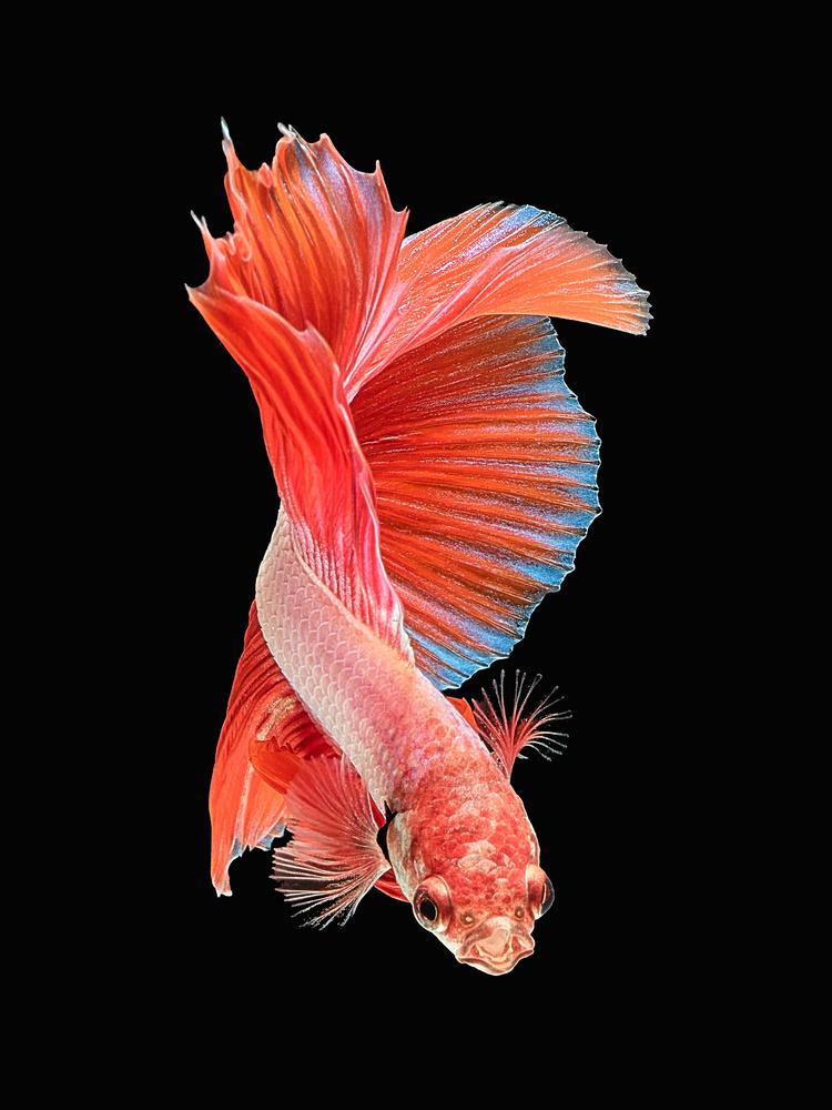Beta Fish 2 by Don Jose Romulo Davies