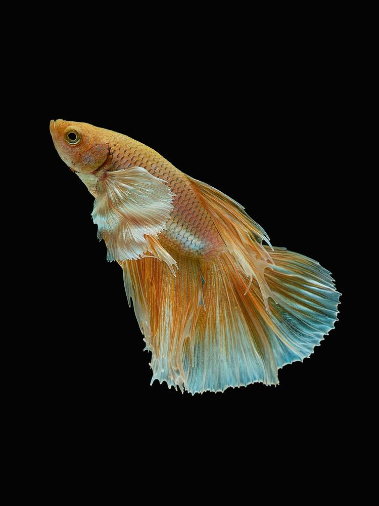 Beta Fish 9 by Don Jose Romulo Davies