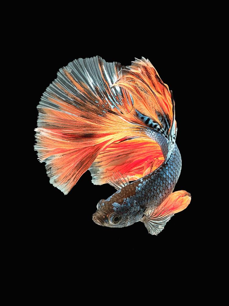 Beta Fish 4 by Don Jose Romulo Davies