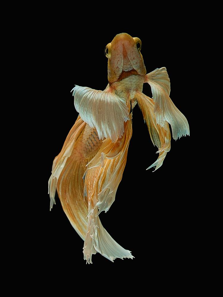 Beta Fish 7 by Don Jose Romulo Davies