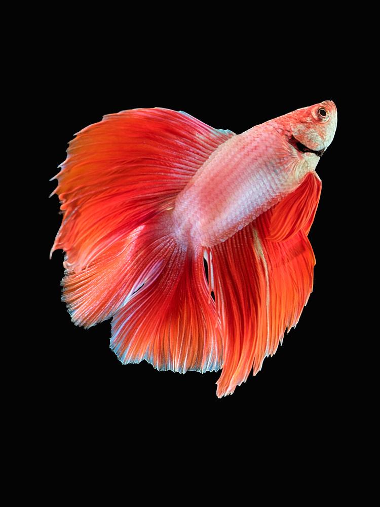 Beta Fish 1 by Don Jose Romulo Davies
